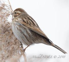 Bruant des roseaux - Emberiza schoeniclus - Common Reed Bunting : Michel NOËL © 2018-2651.jpg