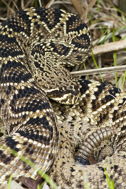 Eastern Diamondback Rattlesnake 6178