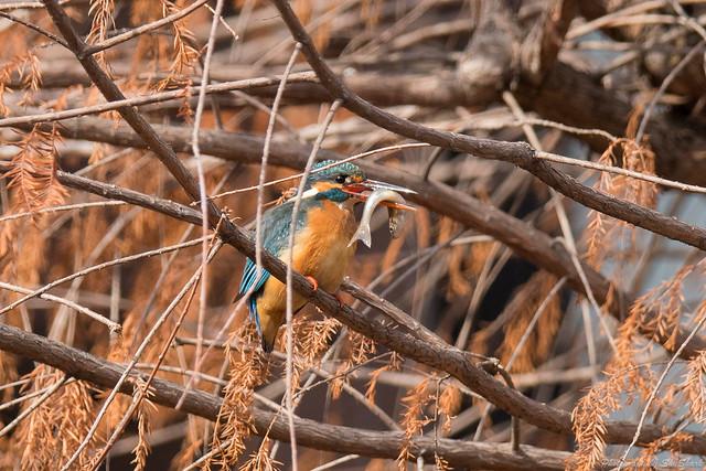20180203-kingfisher-DSC_7120