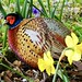 Red-Necked Male Pheasant