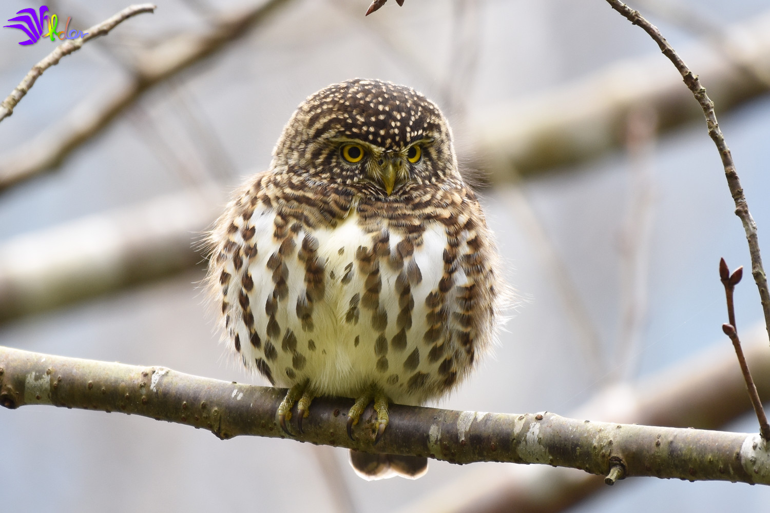 Collared_Owlet_5706