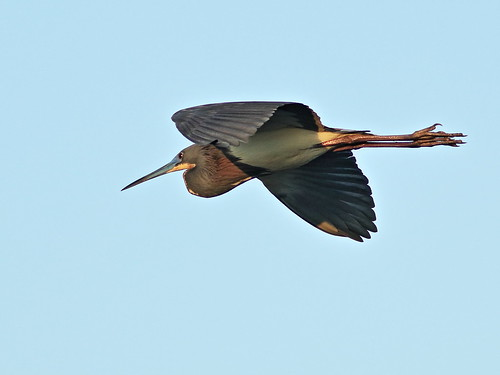 Tricolored Heron 04-20180306