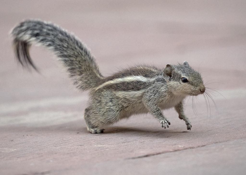 Three-striped Squirrel