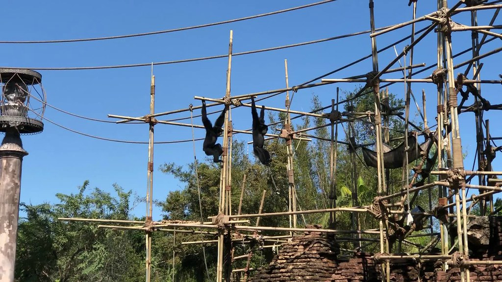 gibbons three.mp4