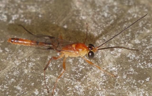 7mm long Night wasp Cremastinae Ichneumonidae attracted to light Airlie Beach rainforest P1160322
