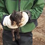 Rescate Cerdos Vietnamitas 2018