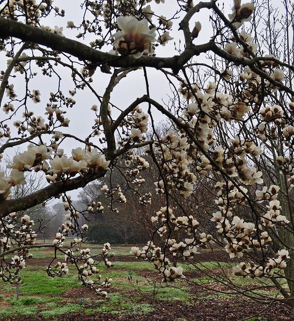 Magnolia denudata (4)