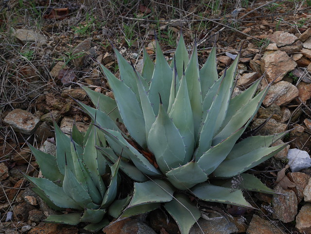 Agave parryi - Page 3 24949494887_0f8516d101_z