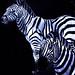 Zebras IMG_0919