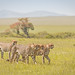 Four of The 5 Boys Cheetah coalition by Photobirder