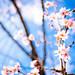 cherry blossoms in January '18 (Myoren-ji temple, Kyoto) by Marser