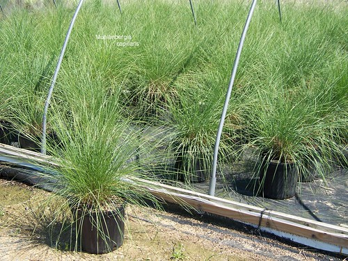 Muhlenbergia capillaris 3 gal | by Johnson Farms