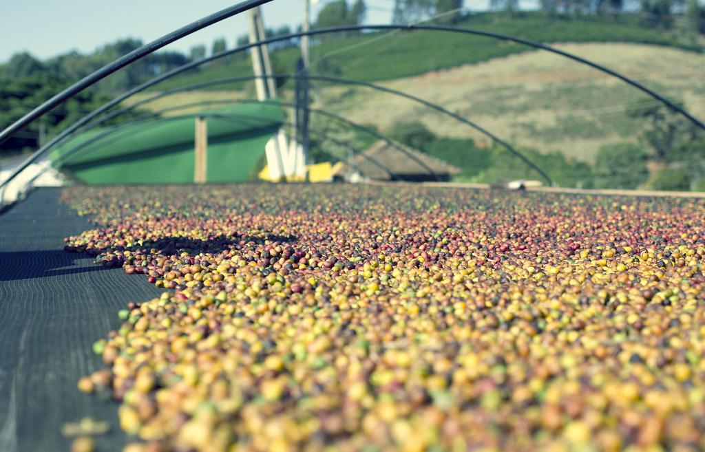 Cà phê Bourbon vàng - Brazil được chế biến khô 2