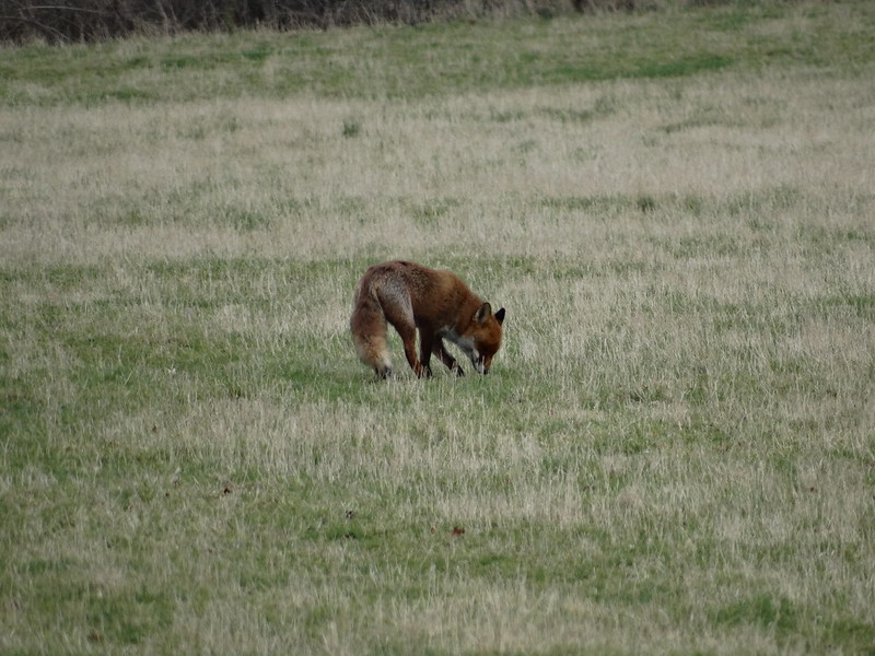 Fox, in one of the fields along Bury Lane, near Sutton Gault