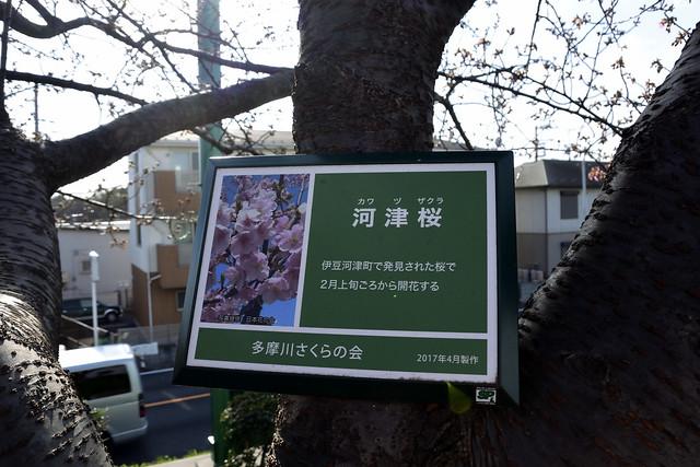 多摩川の河津桜