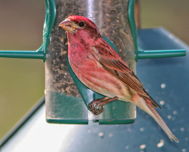 Purple-Finch-040405-20D_5271