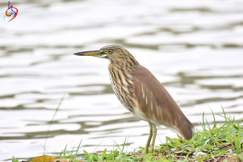 Pond_Heron_4115