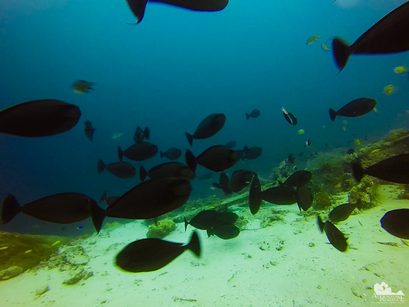 Huge aggregates of black Indian triggerfish