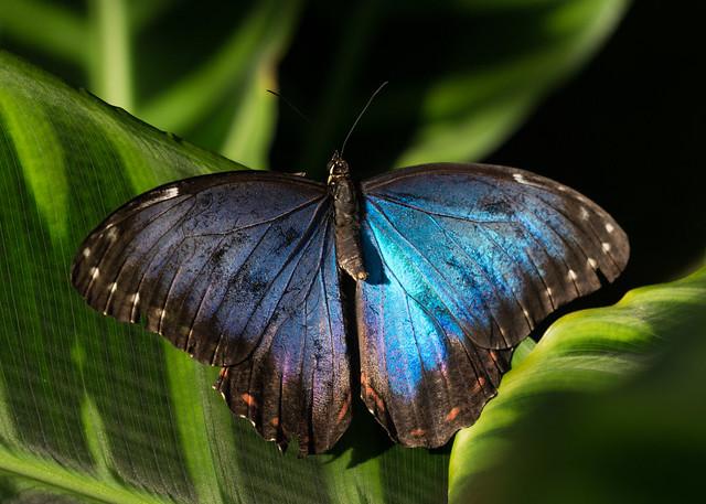 Blue Morpho 1