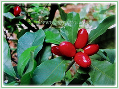 2 cm long and fleshy fruits of Synsepalum dulcificum (Miracle Fruit, Miracle Berry, Miraculous Berry, Flavour/Sweet Berry, 10 Feb 2018