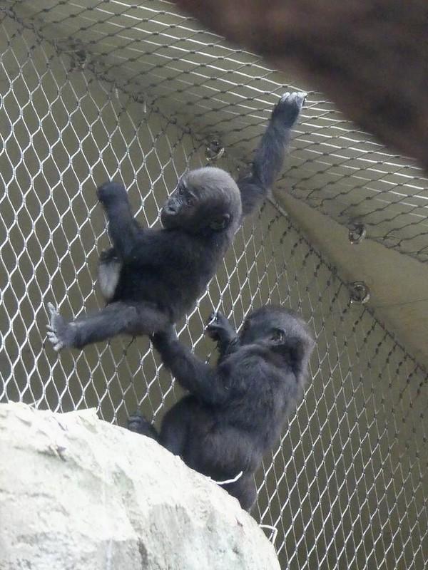 Gorilla Wela und Xetsa, Zoo Frankfurt