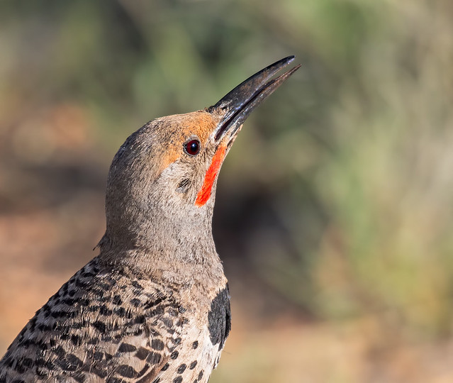 Northern-Flicker-34-7D2-140716