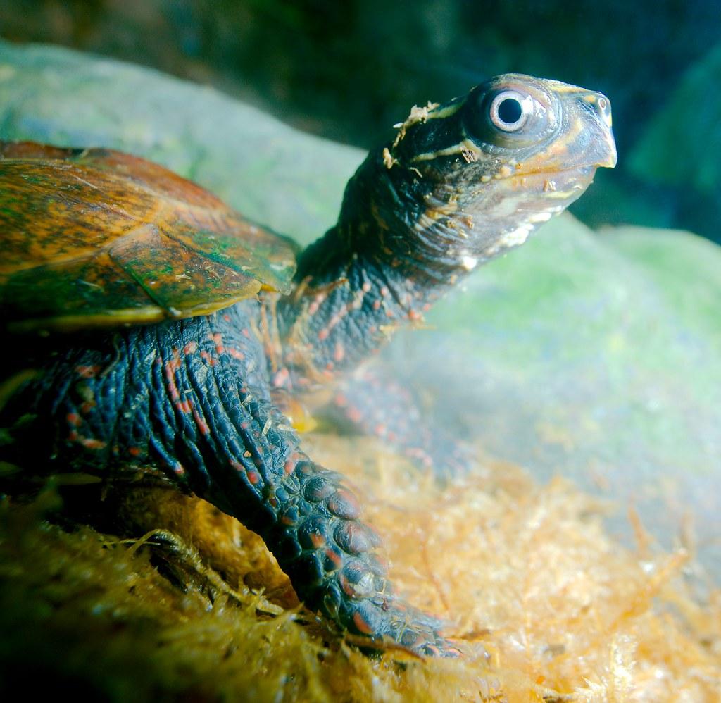 Black Breasted Leaf Turtle