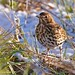 Song thrush and snow Feb 2018