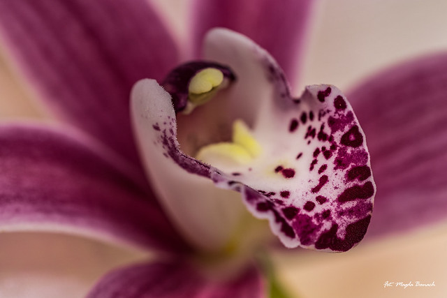 Macro monday - Speckled orchid