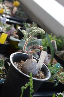 DSC_7167 Pelargonium triste  ペラルゴニウム トリステ