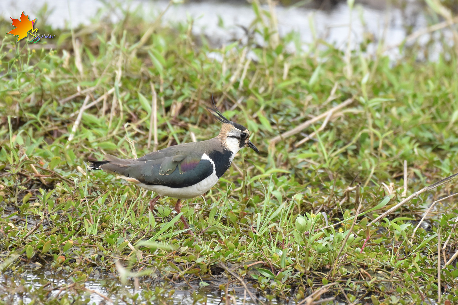 Northern_Lapwing_8459