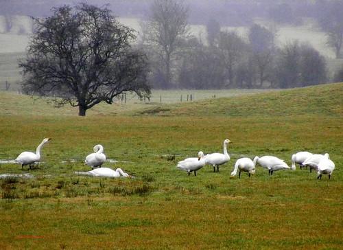 Whooper Swans 2-2-2011