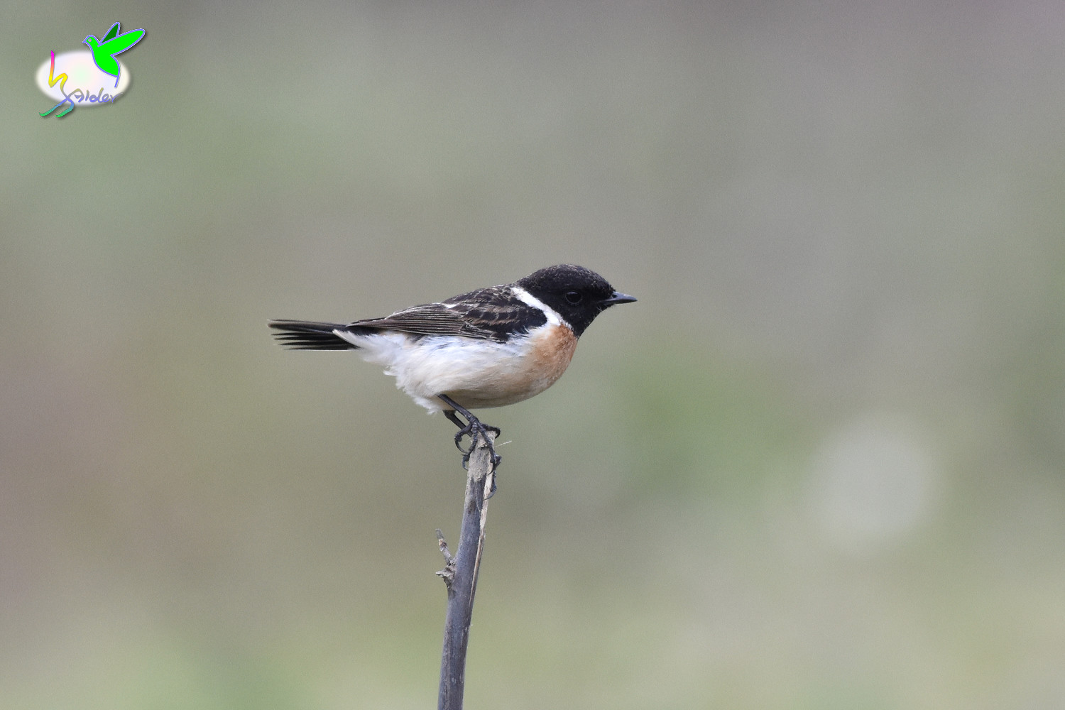 Common_Stonechat_9480