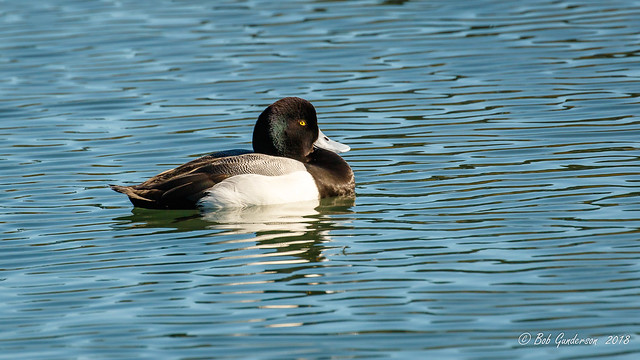 Greater Scaup (m)