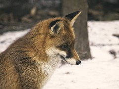 2018:02:14 13:19:55 - Fuchs - Animal Winter Bokeh
