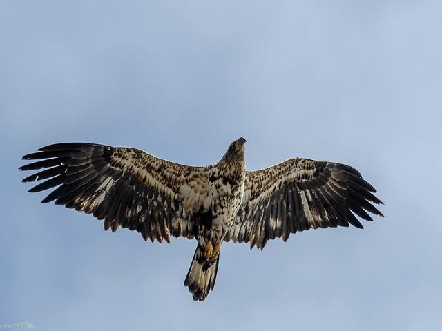 Bald Eagle, Nikon D500, AF-S Nikkor 300mm f/4E PF ED VR