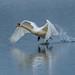 Swan on Take Off