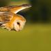 Barn Owl - Hunting by John Tymon