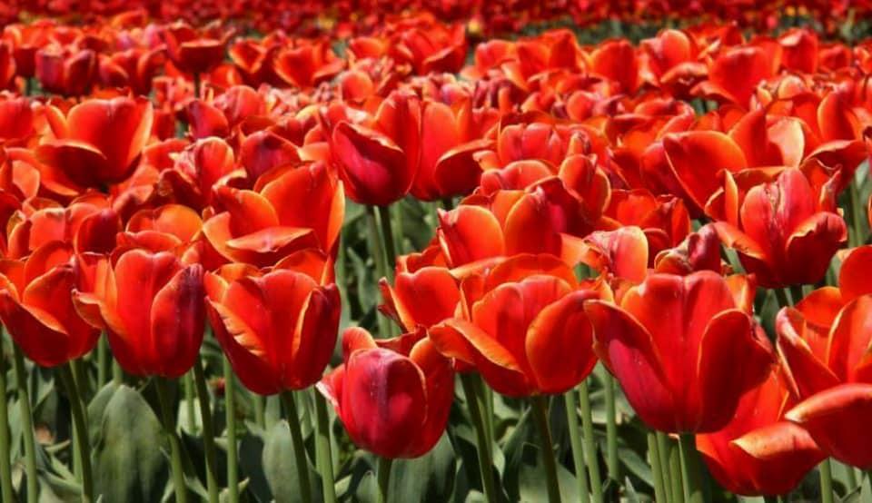 Well tended acres of srinagar tulip garden