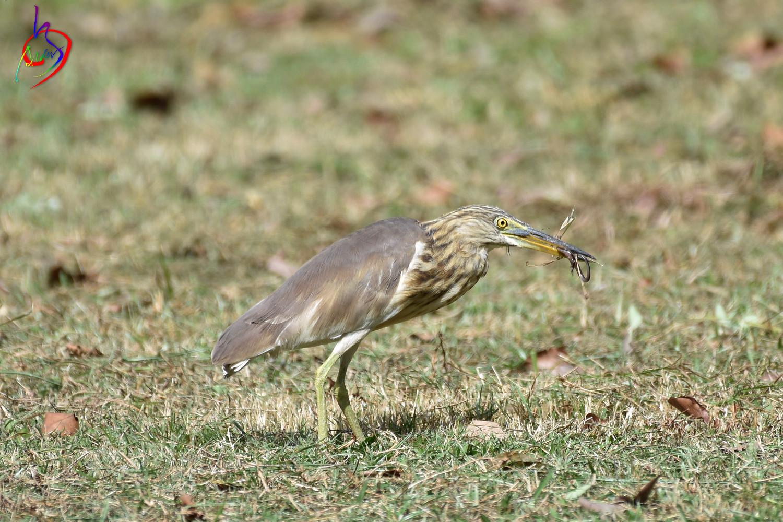 Pond_Heron_2579