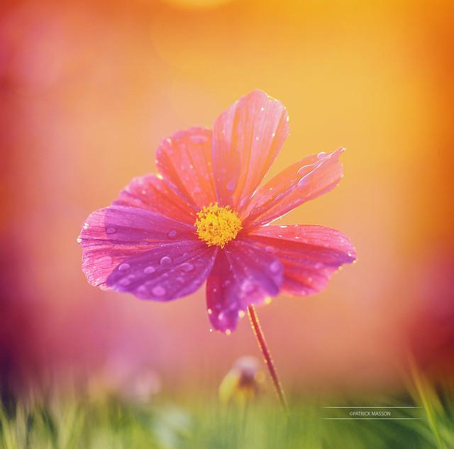 Au Petit Matin Couverte de Rosée...