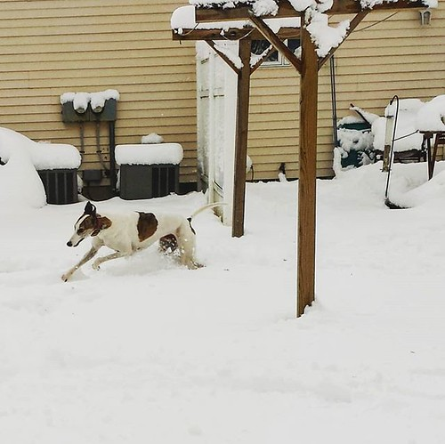 Snowhound (2 of 3) #Cane #DogsOfInstagram #greyhound