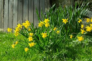 20170330-66_Cheerful Spring Daffs
