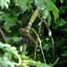 Perched juvenile Robin (Erithacus rubecula)