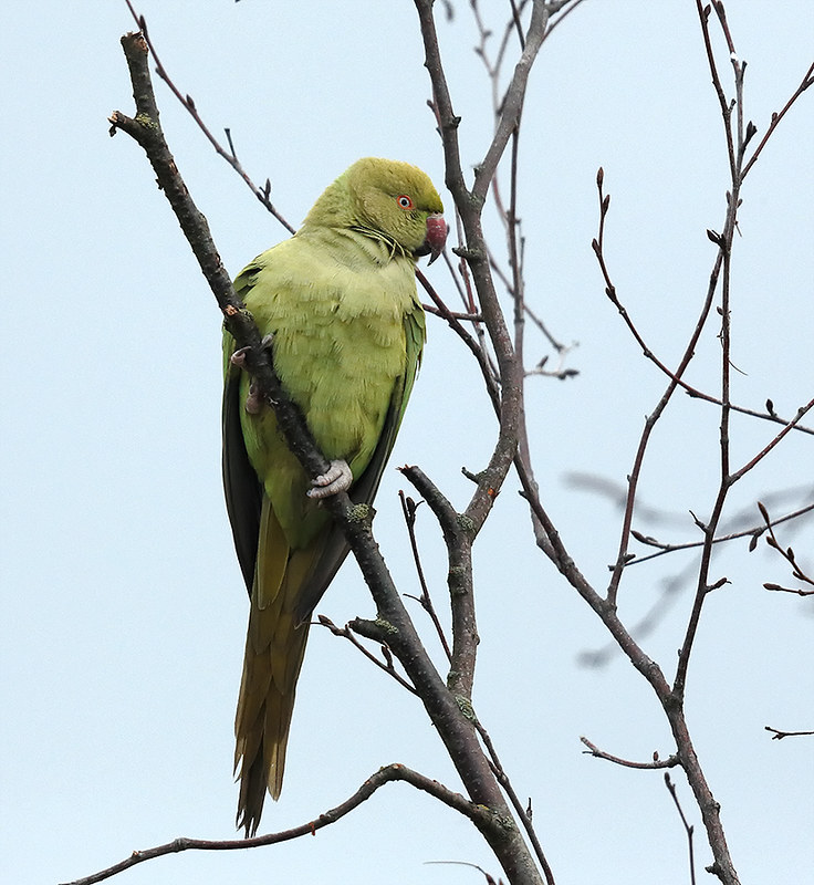 Ring-necked Parakeet - squawky little devils!