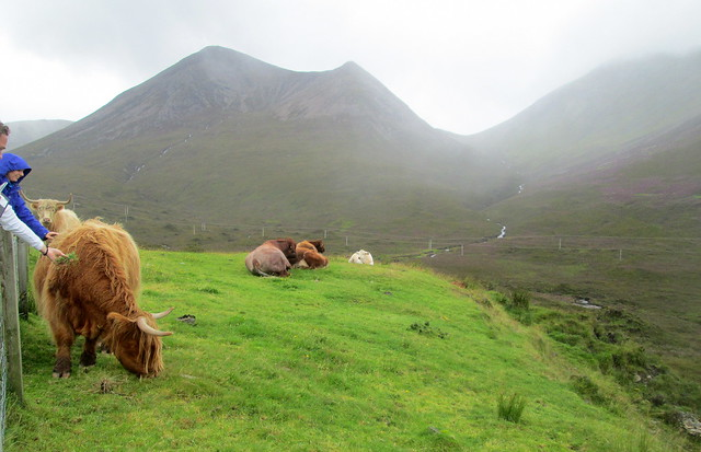 Highland Cows on Skye 1