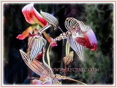 Captivating flowers of Paphiopedilum rothschildianum (Rothschild's Slipper Orchid, Gold of Kinabalu Orchid), Feb 24 2018