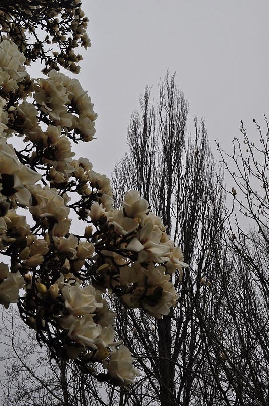 Magnolia denudata (2)