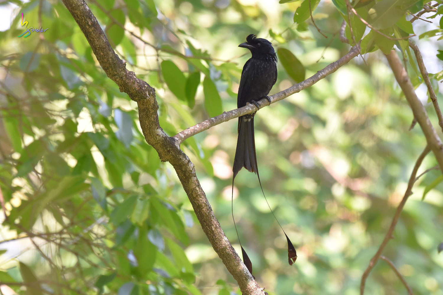 Greater_Racket-tailed_Drongo_7531