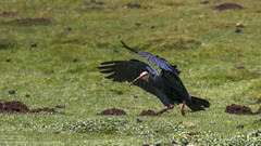Southern Bald Ibis (Geronticus calvus) New Oxbow Lodge, Lesotho 2018